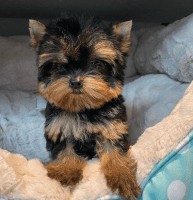 Yorkshire Terrier Puppies for sale in Baltimore, MD, USA. price: NA