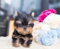 Yorkshire Terrier Puppies for sale in Nottingham, MD, USA. price: NA