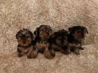 Yorkshire Terrier Puppies for sale in West Palm Beach, FL 33411, USA. price: NA