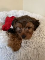 Yorkshire Terrier Puppies for sale in Henrico, VA 23294, USA. price: NA
