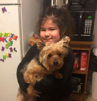 Yorkshire Terrier Puppies for sale in Grand Rapids, MI, USA. price: NA