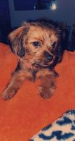Yorkshire Terrier Puppies for sale in Moncks Corner, SC 29461, USA. price: NA