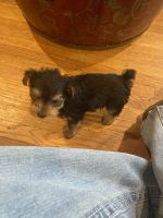 Yorkshire Terrier Puppies for sale in San Mateo, CA, USA. price: NA