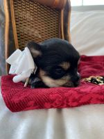 Yorkshire Terrier Puppies for sale in Temecula, CA 92592, USA. price: NA