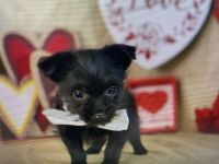 Yorkshire Terrier Puppies for sale in Lancaster, PA, USA. price: NA