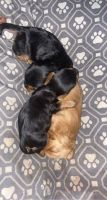 Yorkshire Terrier Puppies for sale in Harleysville, PA 19438, USA. price: NA