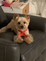 Yorkshire Terrier Puppies for sale in Hallandale Beach, FL 33009, USA. price: NA