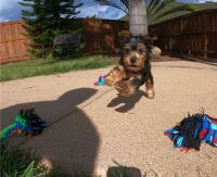 Yorkshire Terrier Puppies for sale in California City, CA, USA. price: NA