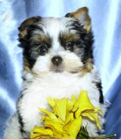 Yorkshire Terrier Puppies for sale in San Diego, CA, USA. price: NA