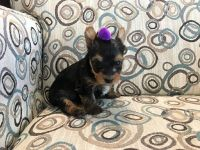 Yorkshire Terrier Puppies for sale in Orlando, FL, USA. price: NA