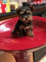 Yorkshire Terrier Puppies for sale in Las Vegas, NV, USA. price: NA