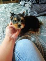 Yorkshire Terrier Puppies for sale in Knoxville, TN, USA. price: NA