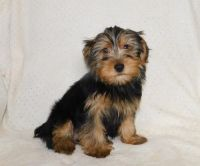 Yorkshire Terrier Puppies for sale in Ackworth, IA 50001, USA. price: NA