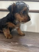 Yorkshire Terrier Puppies for sale in Vista, CA, USA. price: NA