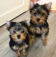Yorkshire Terrier Puppies for sale in Delaware, OH 43015, USA. price: NA