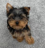 Yorkshire Terrier Puppies for sale in Seattle, WA, USA. price: NA