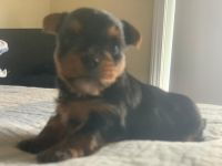 Yorkshire Terrier Puppies for sale in Toccoa, GA 30577, USA. price: NA