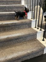 Yorkshire Terrier Puppies for sale in Flower Mound, TX, USA. price: NA