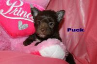 Yorkshire Terrier Puppies for sale in Leesville, LA 71446, USA. price: NA