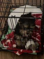 Yorkshire Terrier Puppies for sale in Columbia, SC, USA. price: NA
