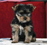Yorkshire Terrier Puppies for sale in Cranston, RI, USA. price: NA