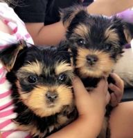 Yorkshire Terrier Puppies for sale in Mims, FL, USA. price: NA
