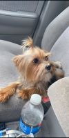 Yorkshire Terrier Puppies for sale in St Paul, MN 55112, USA. price: NA