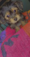 Yorkshire Terrier Puppies for sale in Carol City, FL 33056, USA. price: NA