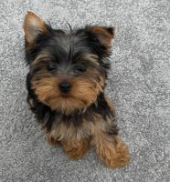 Yorkshire Terrier Puppies for sale in Sacramento County, CA, USA. price: NA