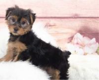 Yorkshire Terrier Puppies for sale in Charlotte, NC, USA. price: NA