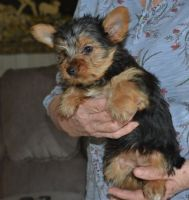 Yorkshire Terrier Puppies for sale in Bakersfield, CA 93380, USA. price: NA