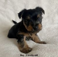 Yorkshire Terrier Puppies for sale in 9205 E 71st St, Tulsa, OK 74133, USA. price: NA