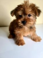 Yorkshire Terrier Puppies for sale in Salem, OR, USA. price: NA