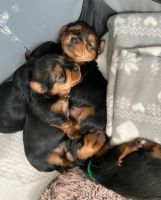 Yorkshire Terrier Puppies for sale in USAA Blvd, San Antonio, TX, USA. price: NA