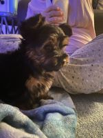 Yorkshire Terrier Puppies for sale in Auburn, IN 46706, USA. price: NA