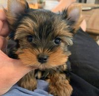 Yorkshire Terrier Puppies for sale in Lawton Dr, Dallas, TX 75217, USA. price: NA