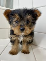 Yorkshire Terrier Puppies for sale in Fontana, CA, USA. price: NA