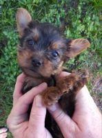 Yorkshire Terrier Puppies for sale in Avon Park, FL 33825, USA. price: NA