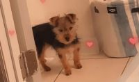 Yorkshire Terrier Puppies for sale in Jacksonville, FL, USA. price: NA
