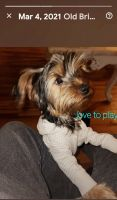 Yorkshire Terrier Puppies for sale in Old Bridge, NJ 08857, USA. price: NA