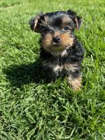 Yorkshire Terrier Puppies for sale in Winchester, CA 92596, USA. price: NA