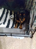 Yorkshire Terrier Puppies for sale in Anderson, SC, USA. price: NA