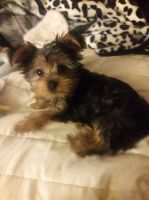 Yorkshire Terrier Puppies for sale in North Providence, RI 02904, USA. price: NA