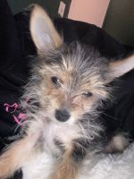 Yorkshire Terrier Puppies for sale in Brooklyn, NY 11212, USA. price: NA