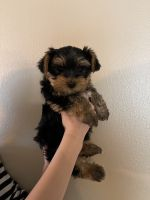 Yorkshire Terrier Puppies for sale in Winchester, CA, USA. price: NA