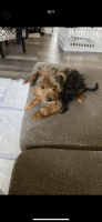 Yorkshire Terrier Puppies for sale in Jackson Township, NJ 08527, USA. price: NA