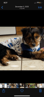 Yorkshire Terrier Puppies for sale in Porter Ranch Dr, Los Angeles, CA, USA. price: NA