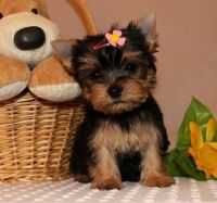Yorkshire Terrier Puppies for sale in Maryland City, MD, USA. price: NA