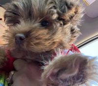 Yorkshire Terrier Puppies for sale in East Haven, CT, USA. price: NA