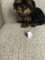 Yorkshire Terrier Puppies for sale in Dunwoody, GA 30350, USA. price: NA